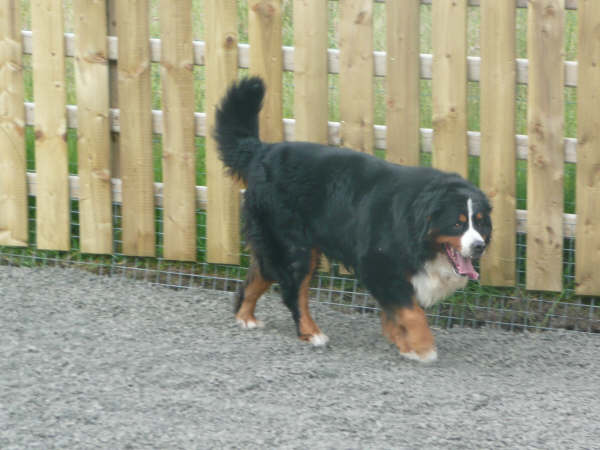 A Bernese Mountain Dog enjoying the ample space at A1 Kennel Runs & Cattery.