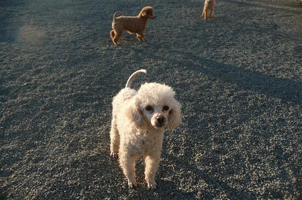 Poodles in large excercise area
