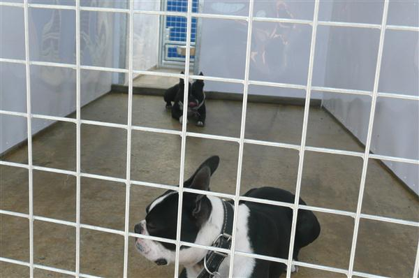 Boston Terriers sharing the one kennel. This is the outside covered run, notice the hatch leading to under floor heated sleeping area